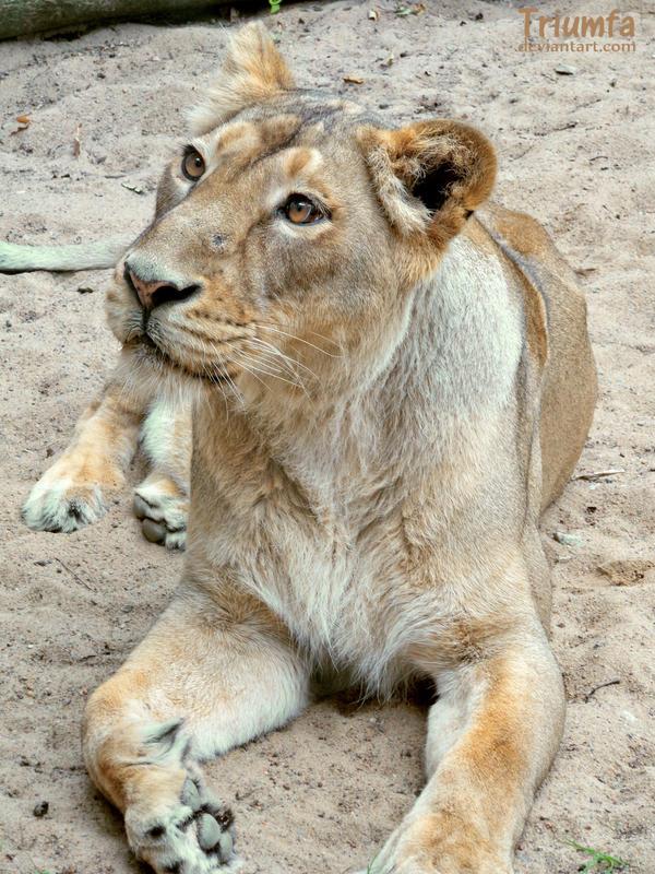 The Asiatic lioness by Triumfa