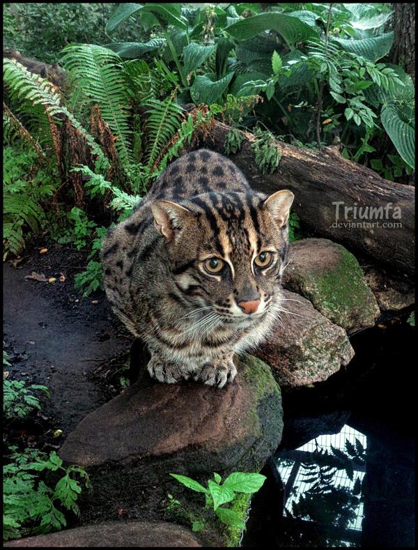 Fishing cat by Triumfa