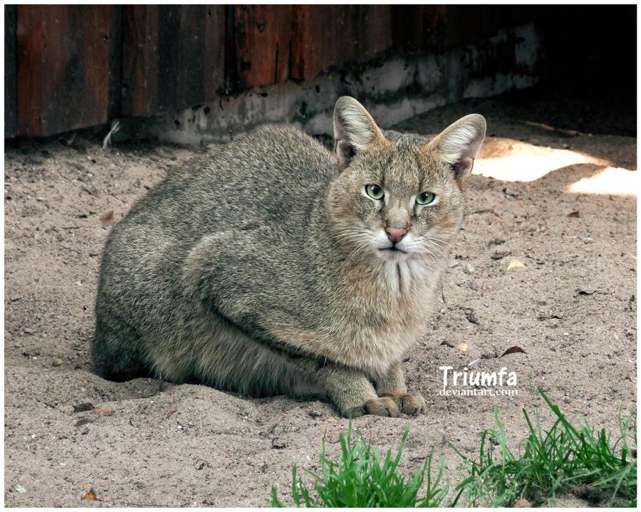 Jungle cat II by Triumfa