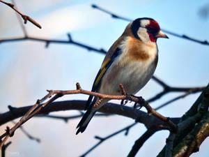 Goldfinch II by Triumfa