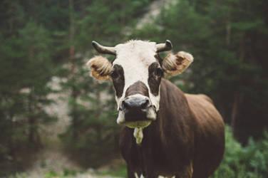 cow by avroragum