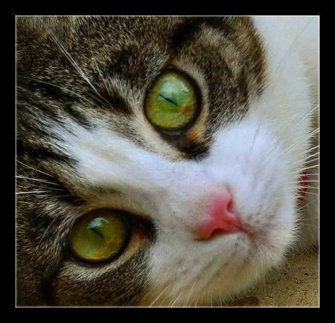 Pretty Kitty by Forestina-Fotos