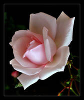 Rose Pink by Forestina-Fotos