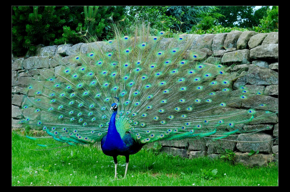 Proud Peacock by Forestina-Fotos