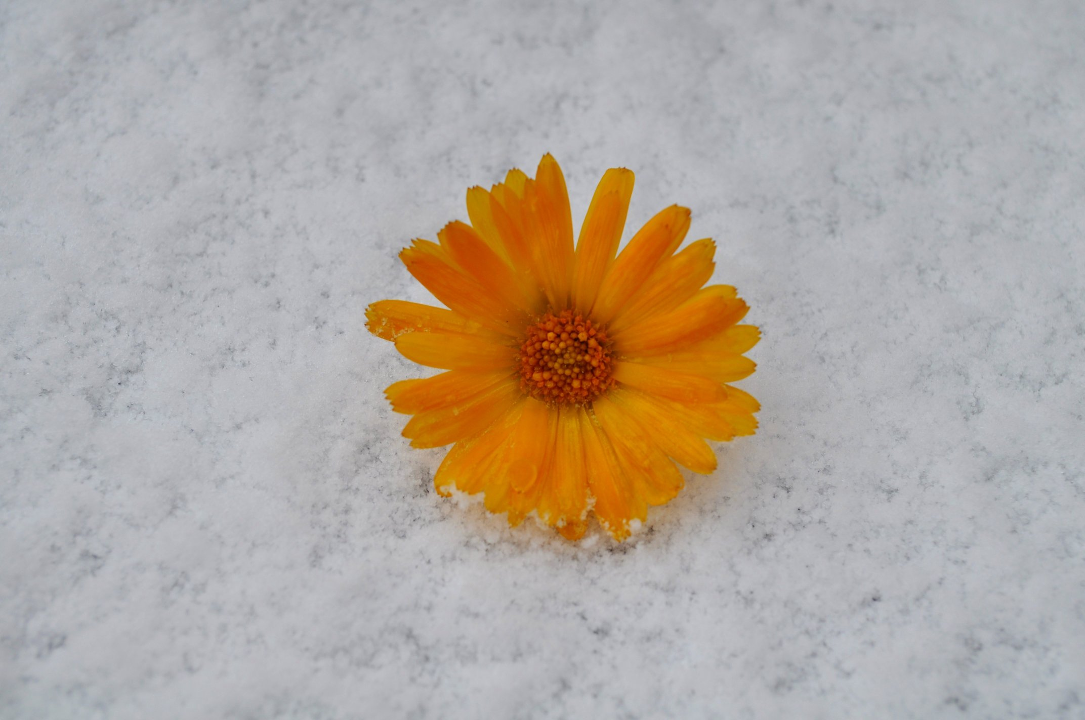 Snow Flower by Forestina Fotos on DeviantArt