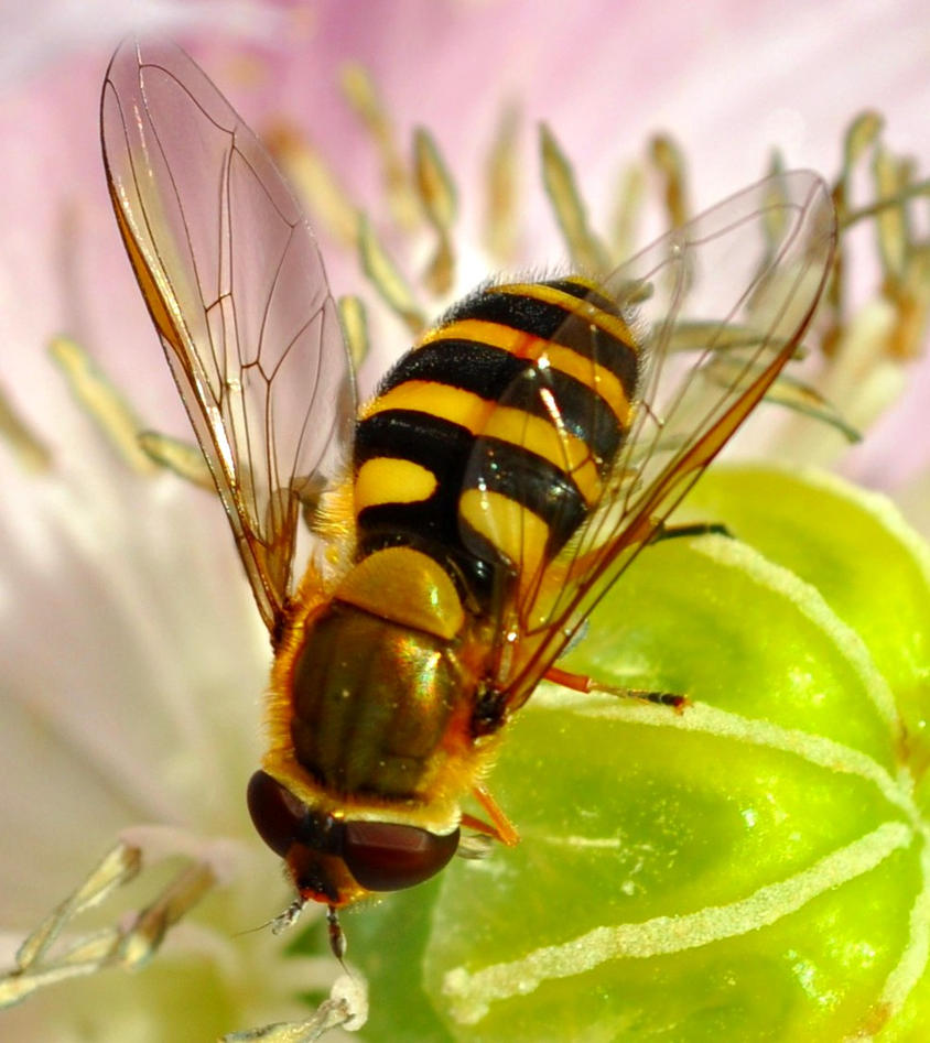 July Hoverfly by Forestina-Fotos