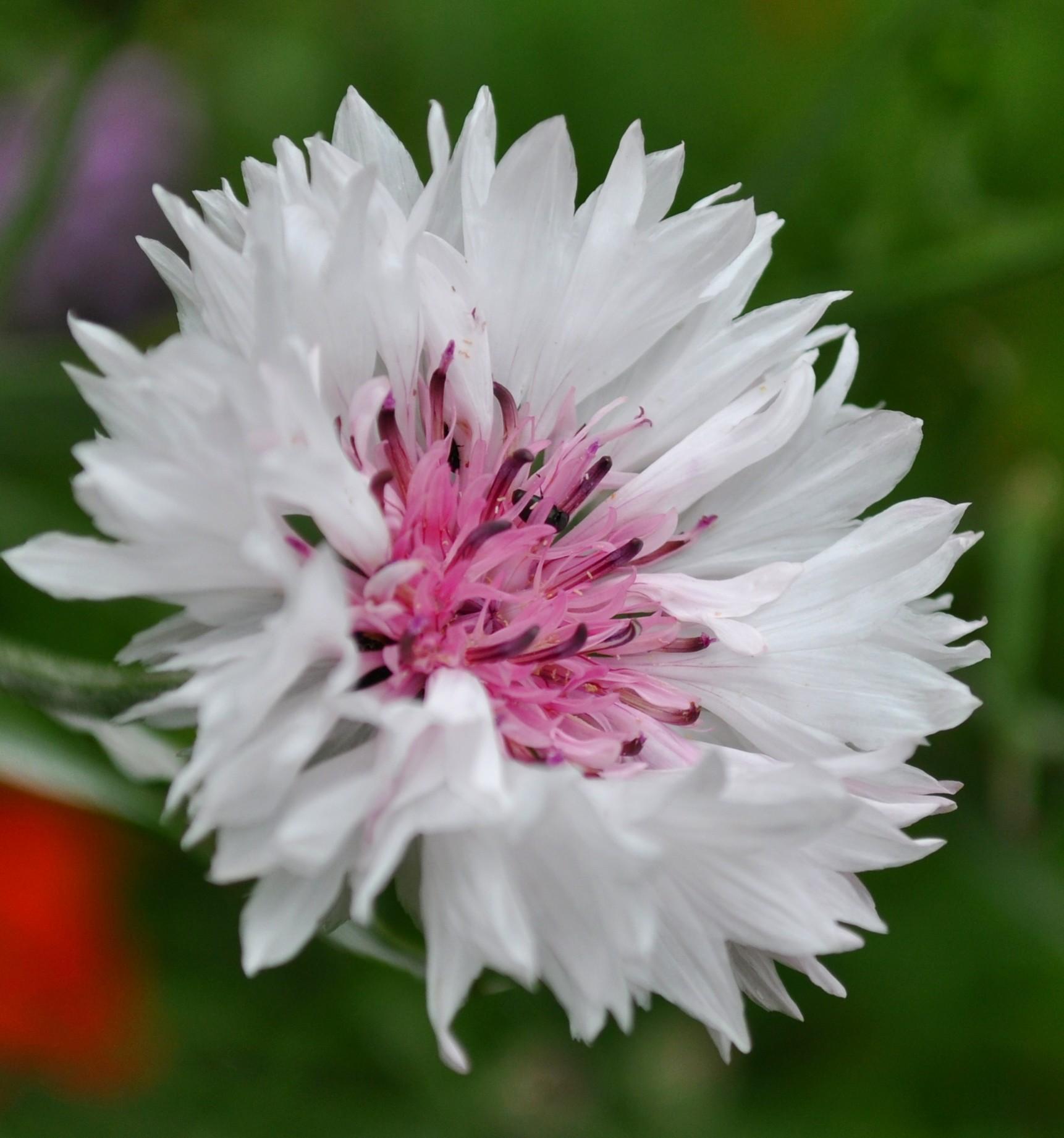 White Cornflower by Forestina Fotos on DeviantArt