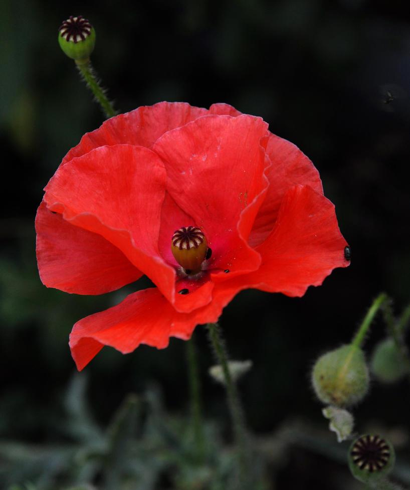 July Poppy by Forestina-Fotos