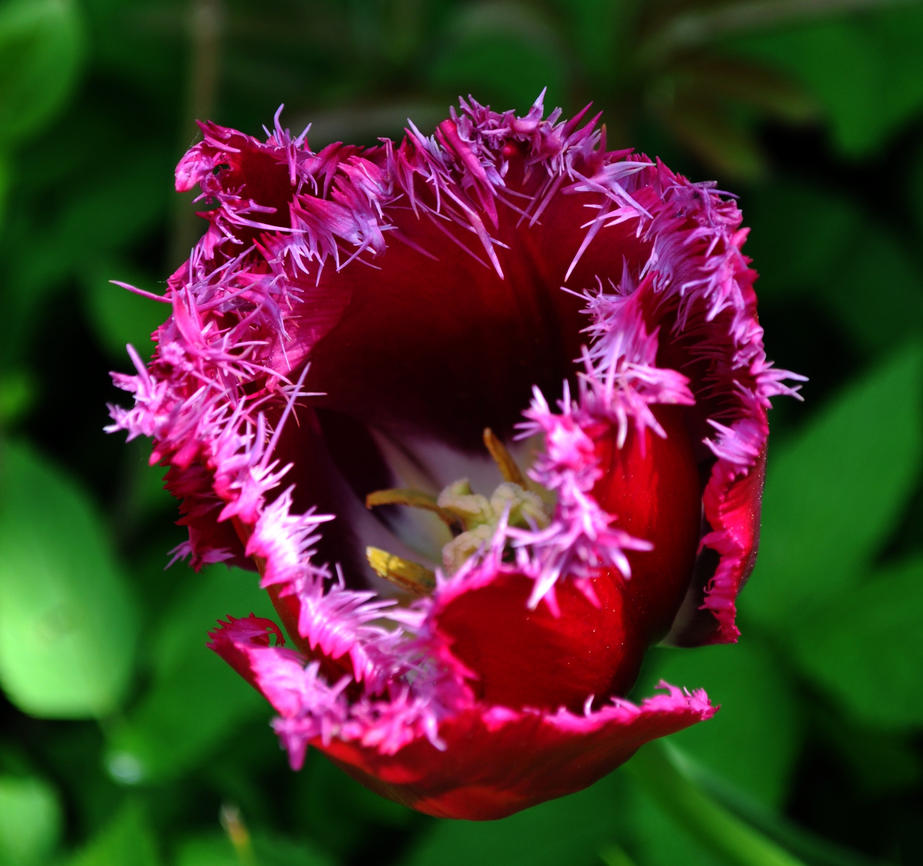 Frilly Tulip by Forestina-Fotos