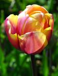 Sweet Tulip 2