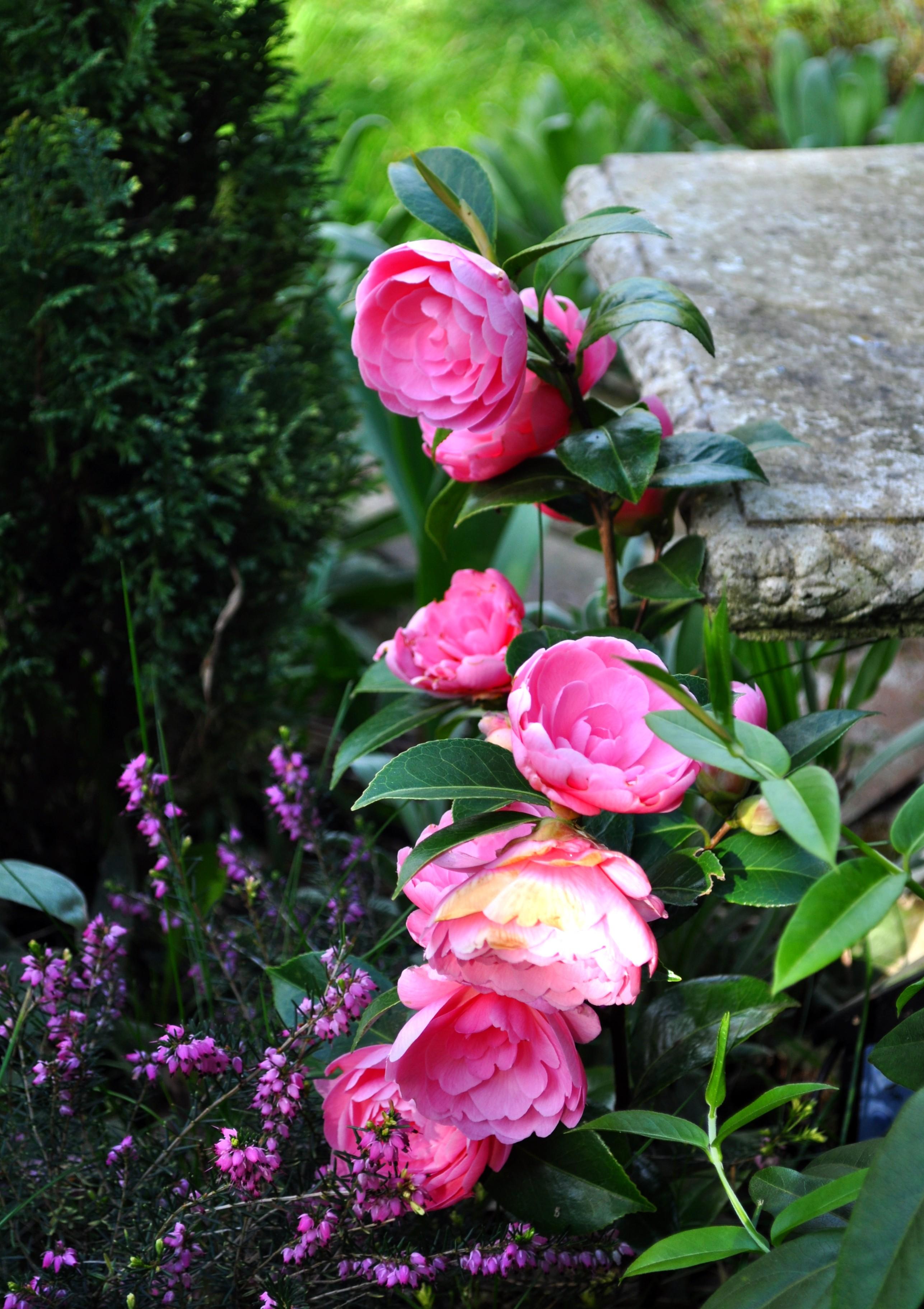 Sweet camellias by forestina fotos on deviantart - Camelia fotos ...