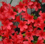 Pretty Red Azalea
