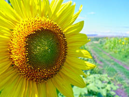 sun flower by MadManTnT