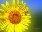 sun flower dof