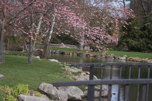cherry blossom tree flower34