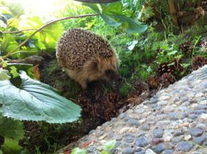 Old photo of a hedgehog