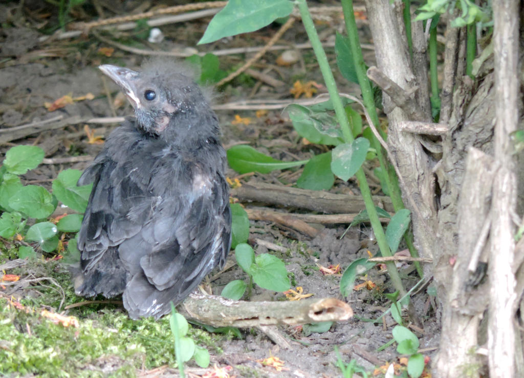 A Baby Grackle by PHOTOBUG51
