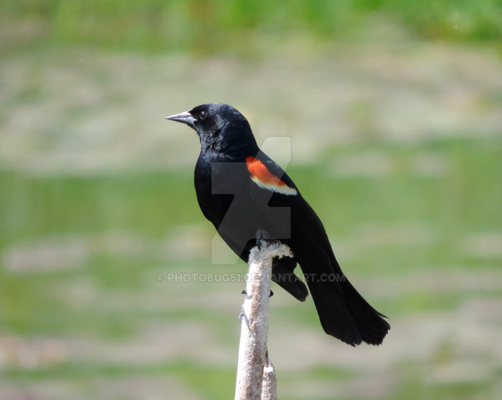 A touch of red ..Redwing black bird by PHOTOBUG51