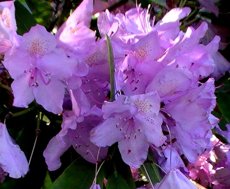 Pink .............. by MASYON