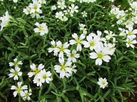 White flowers by 7ix