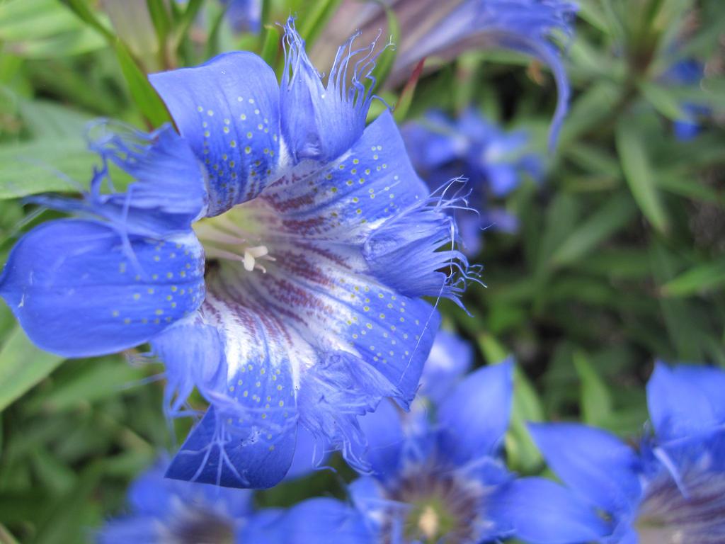 Blue Gentiane