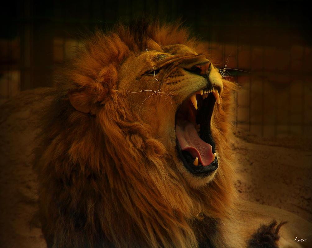 Lion by Louis-photos