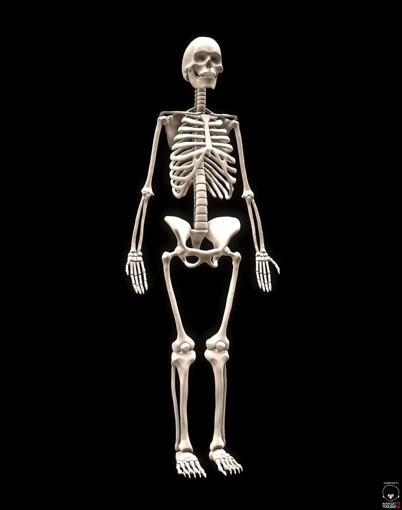 Female Skeleton - Human Anatomy Studies by quambenigna on DeviantArt
