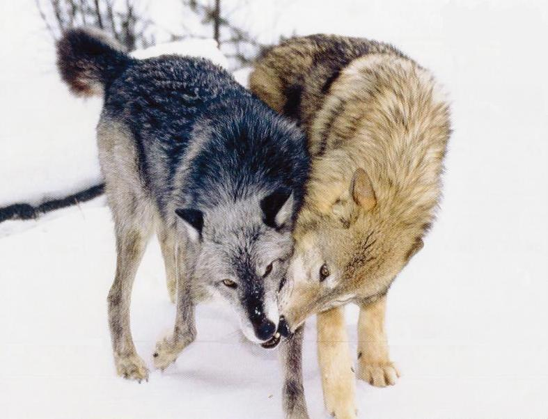 Image result for wolf love