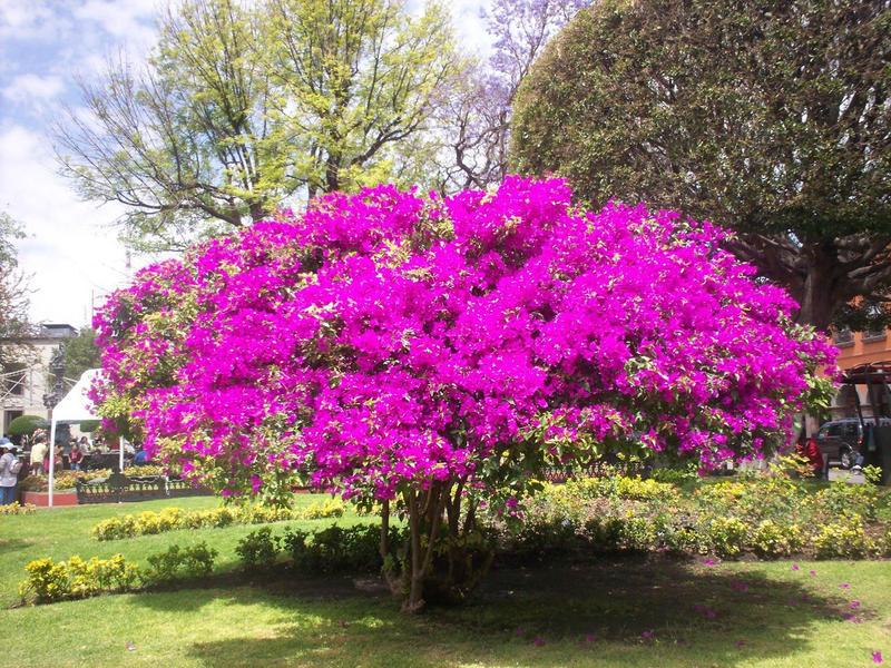 Bugambilia by gothliebe on deviantart for Arbustos de exterior resistentes