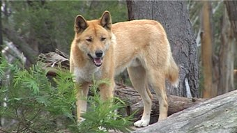 Dingoes by Mirasai