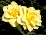 daffodils :D