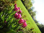 tulips in the sun.