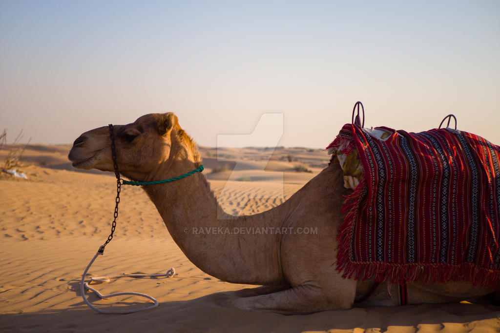 Camel by raveka