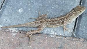 Brown Anole Lizard Florida