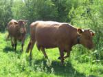 Cows by jajafilm