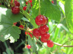 Red currants by jajafilm