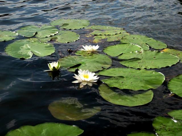 Water lilies by jajafilm