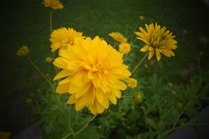 Yellow flower by jajafilm