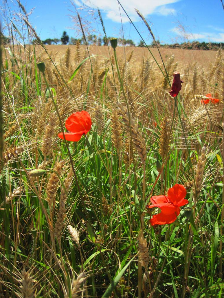 Poppies by jajafilm