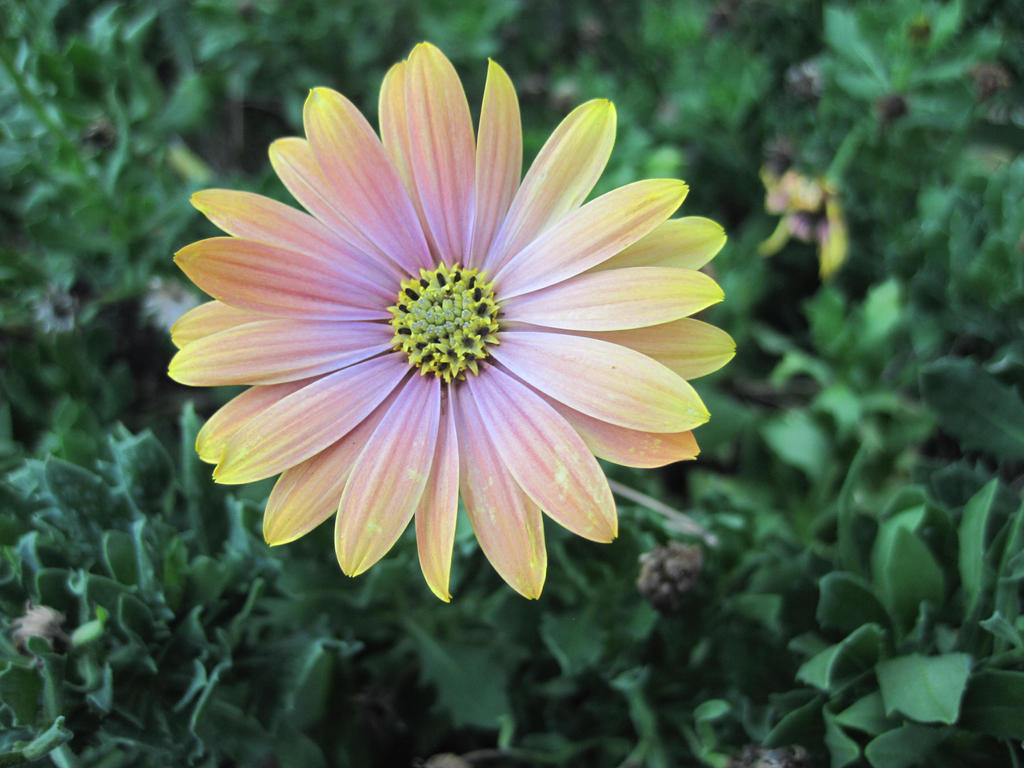 Yellow-pink flower by jajafilm