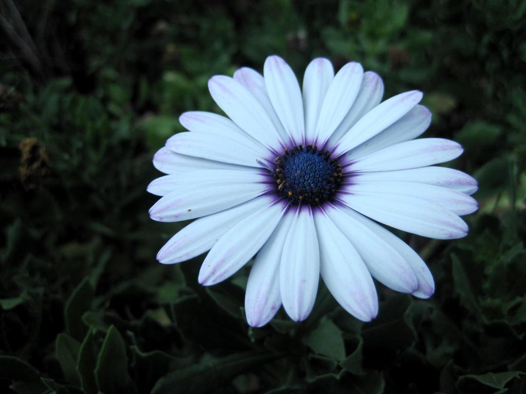 Blue-white flower by jajafilm