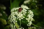 Beetle on a flower