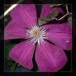 Clematis on the Obelisk