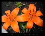 Two Tiger Lillies