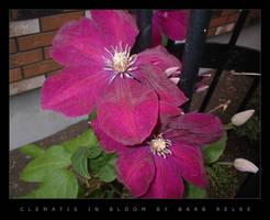 Clematis In Bloom by redbandana