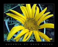 Gazania by redbandana