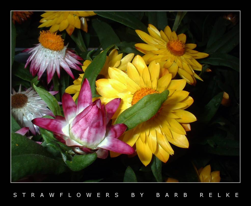Strawflowers by redbandana