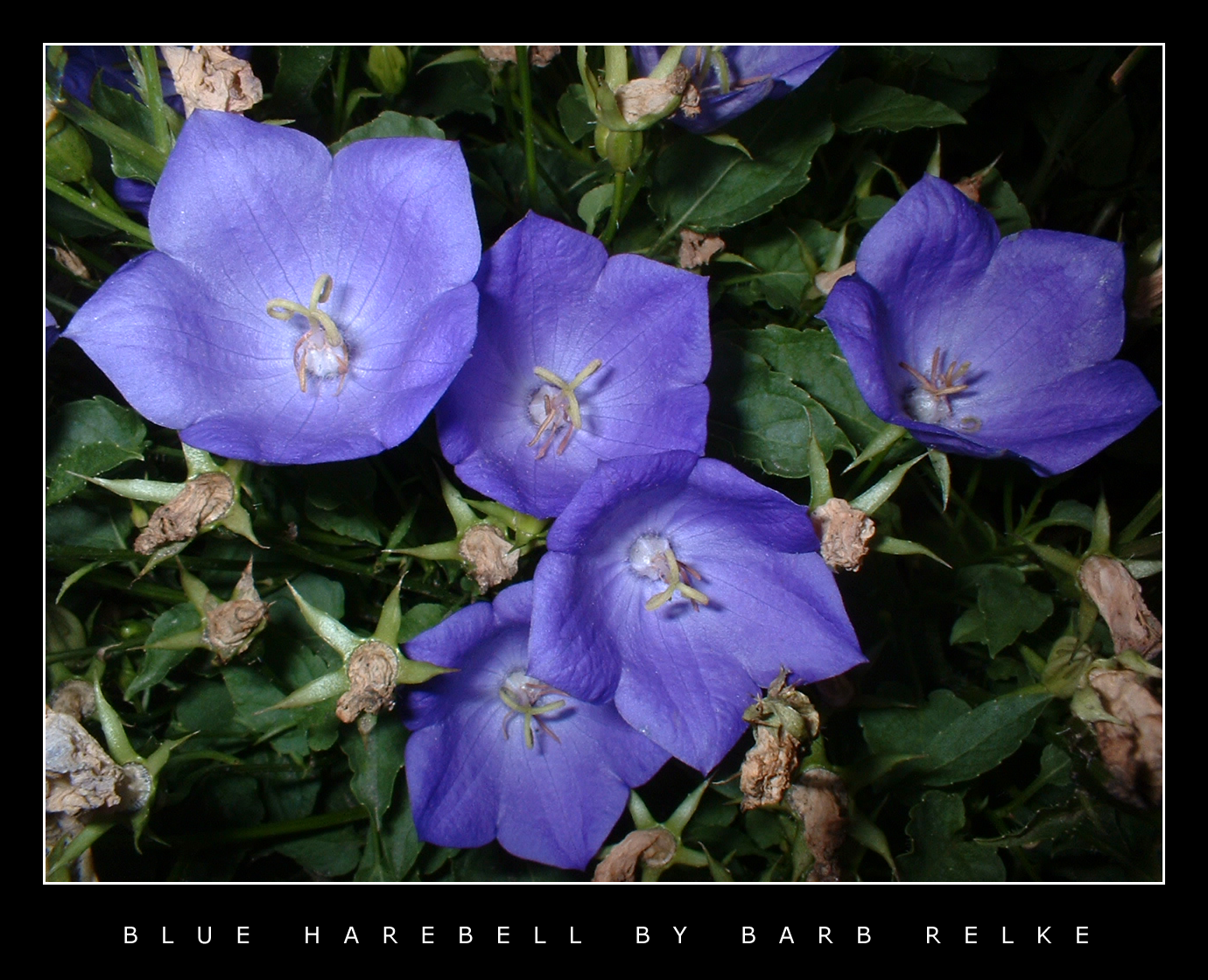 Blue Harebell by redbandana