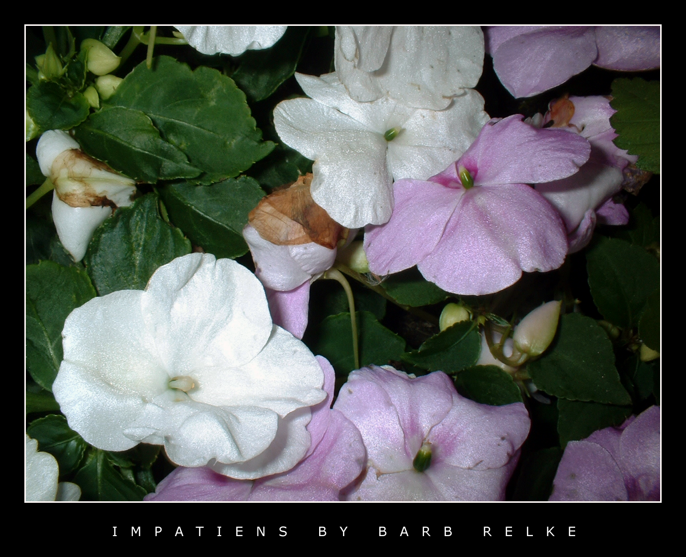 Impatiens - Pink and White by redbandana