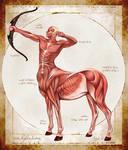 Centaur Muscular Anatomy